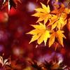 日の当たる紅葉