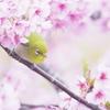 桜の花の中のメジロ