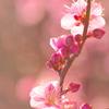 朝日に輝く紅梅