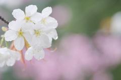 雨上がりの白い桜