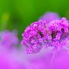 畔に咲く紫花