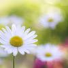 朝のマーガレットの咲く花壇