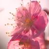 朝日に照らされる紅梅