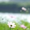 水辺の秋桜