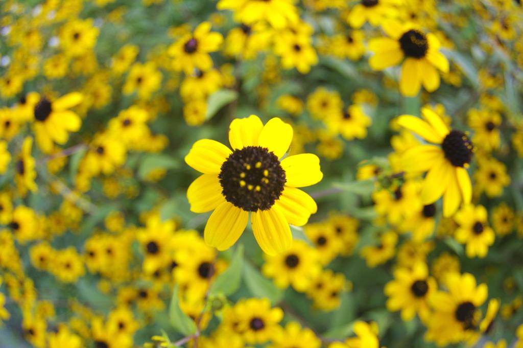 ルドベキアの花束