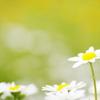 花壇に咲くノースポール