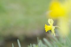 川辺に咲くラッパ水仙