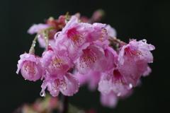 雫が垂れてる桜の花