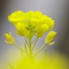 溝端の菜の花
