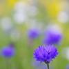紫のヤグルマギク
