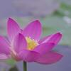 大輪の蓮の花