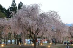 竹田 枝垂れ桜