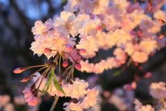 竹田 枝垂れ桜 スポットを浴びて