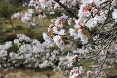 味真野苑の桜