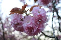 竹田 八重枝垂れ桜