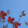 花見月(花水木)