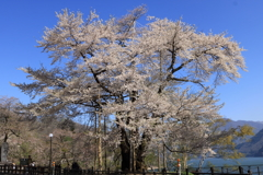 荘川桜(照蓮寺)