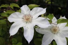大安禅寺の薔薇園7
