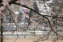 桜と鯉のぼりと季節外れの雪