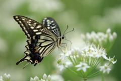 アゲハ蝶 横