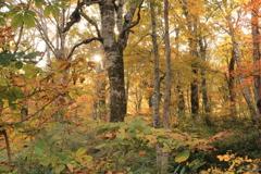 ブナの森の朝