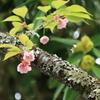 熊野本宮大社 八重桜