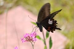 庭に咲く花 番外 蝶VOL.1