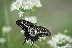 アゲハ蝶 背