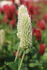 畦に咲く花 ストロベリーキャンドル(白)