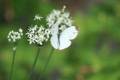 紋白蝶と虻?