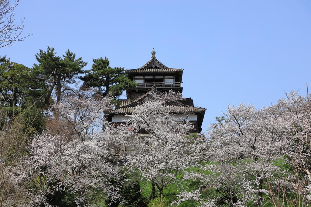 春の丸岡城