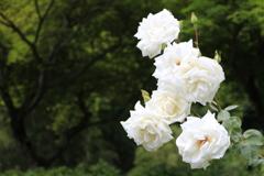 大安禅寺の薔薇園3