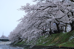 勝山弁天桜