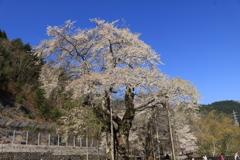 荘川桜(光輪寺)