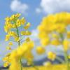 青空と雲と菜の花