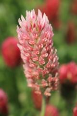 畦に咲く花 ストロベリーキャンドル(ピンク)