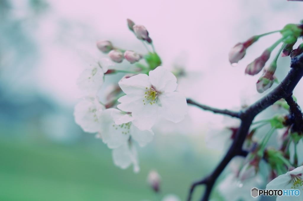 アートとしての桜フィルター