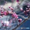 いまどきの梅の花つぼみ事情