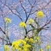 それでも僕は土手から見た菜の花と桜を選ぶ