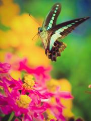 飛び回るアオスジアゲハ