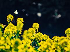 菜の花と蝶