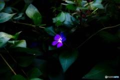 暗々蔓日々草