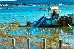 藻刈り船に群がる鳥達