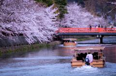 疎水の桜と十石舟