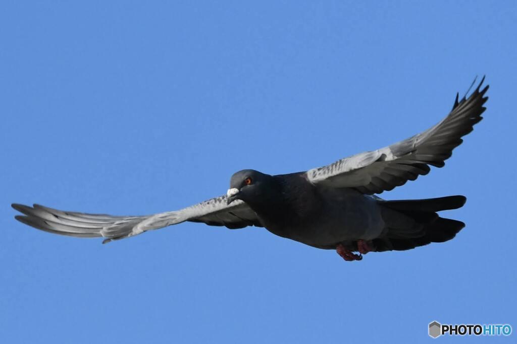 飛立つ鳩①