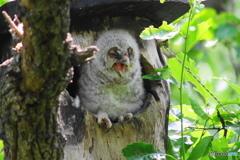 フクロウの雛 2