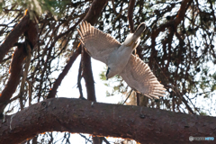 林の中を飛ぶオオタカ 1