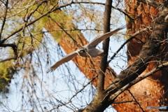 林の中を飛ぶオオタカ 4