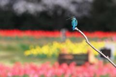カワセミと春の花4色
