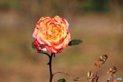 12月の公園 バラ